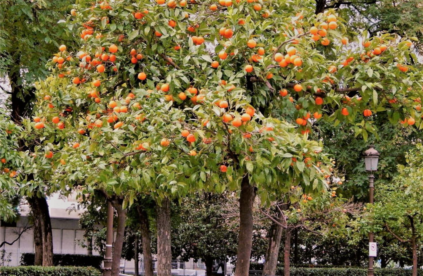 Bigaradier ou oranger amer de Séville par manohi